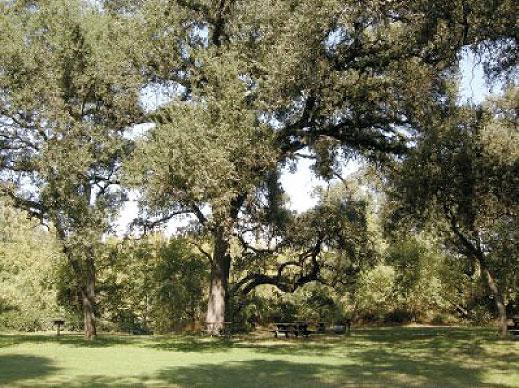 Giant Oaks